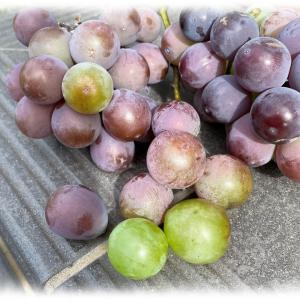 当家のピオーネ栽培。 着色不良と収穫適期。