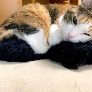もふ猫「ママしゃん 大腸内視鏡検査のために2リットルの下剤を飲む」の巻