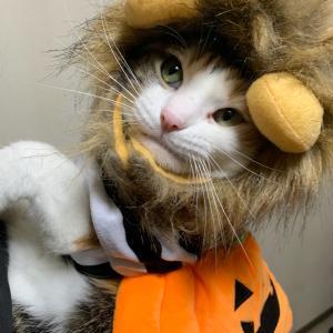 もふ猫 野性味あふれるハロウィン仮装