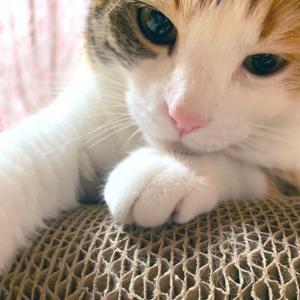 もふ猫「愛しの爪とぎ」の巻