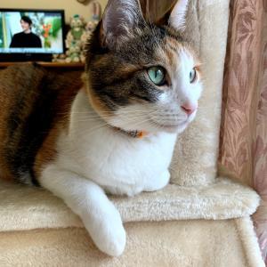 もふ猫「キャットタワーの好位置はここ!」の巻