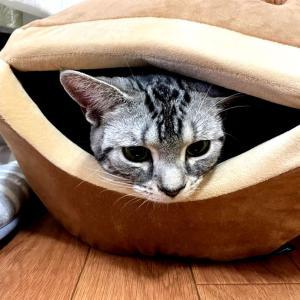 アメショ「猫動画 激しい抵抗!」の巻