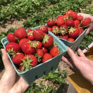 いちご狩りにいってきたで Strawberry picking in Maryland