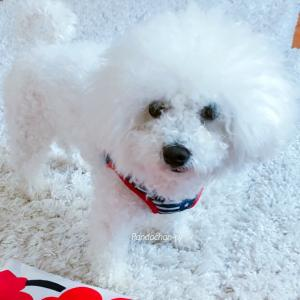 Today's Bichon♡Sweetie〜U^ェ^U