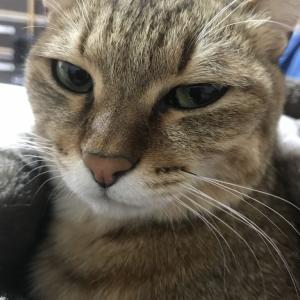 チコちゃん(猫・♀)