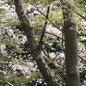 桜(*^^*)