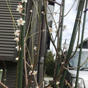 小梅(*^^*) 春は来てる(^_-)-☆