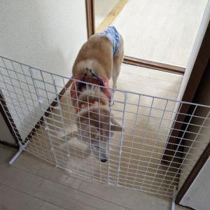 シニア犬になって