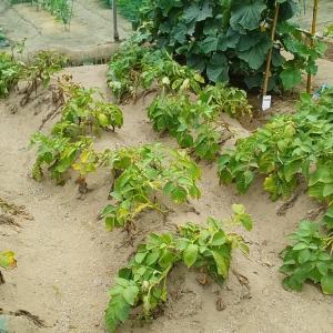ジャガイモの収穫……OK