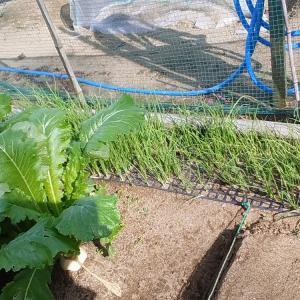 玉ネギ……定植しました‼
