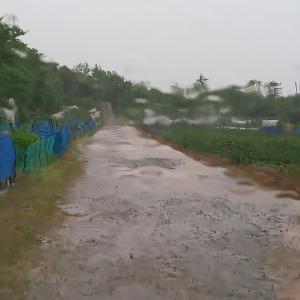 雨の日に……カボチャの授粉作業⁉