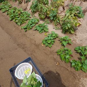 さつま芋の苗……倍々に⁉