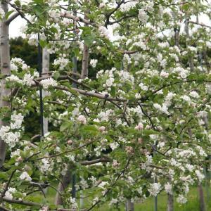 ブログで稼ぐ & 八重桜と大トチの木と
