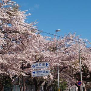 5/5 七飯町の桜