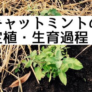 家庭菜園を楽しむ!キャットミントの定植・生育過程のレポート