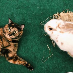 安定の塩対応…ウサギに猛アピールする猫
