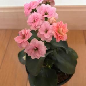 カランコエの花が咲きました