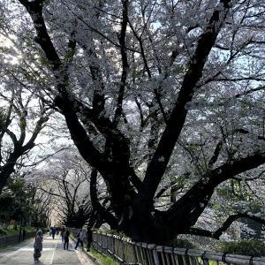 名古屋城の桜は満開です。