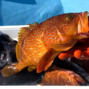 新潟寝屋漁港釣り船昭和丸5月29日、30日、31日釣果情報&乗船募集のご案内