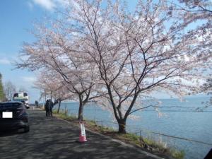 もうげっぷがでるほど延々、桜~海津大崎【滋賀】