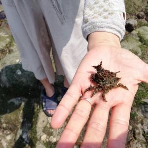 潮だまりで海の生き物探し 2DAYS(2日目)