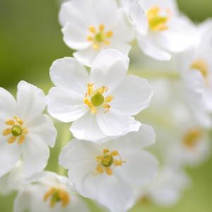 サンカヨウ(山荷葉)雨に濡れると花びらが透明になる花ご存じですか! Go Toトラベル