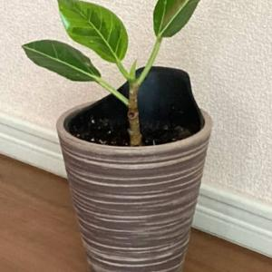 アルテシマの挿し木からの新芽と発根