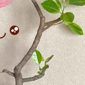 アルテシマの脇芽と葉のない挿し木