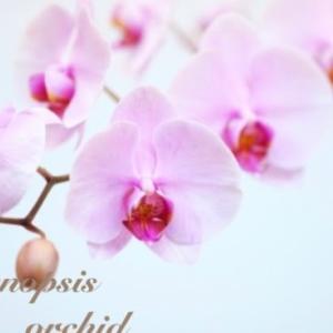 胡蝶蘭の空中栽培をはじめます