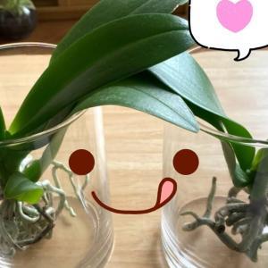 胡蝶蘭の空中栽培 2ヶ月後 (夏の管理)