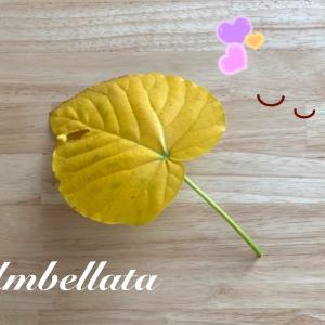 フィカス・ウンベラータ曲げ木 11ヶ月後 第2期目【そしてまさかの出来事が!!】