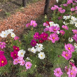 【愛知県】木曽三川公園138タワーパークの可憐なコスモスに癒されてきた
