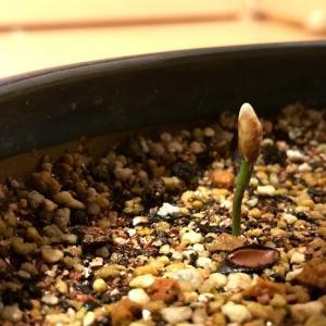 赤石五葉松の種が発芽しました。