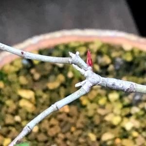 モミジ盆栽の葉刈り効果が!