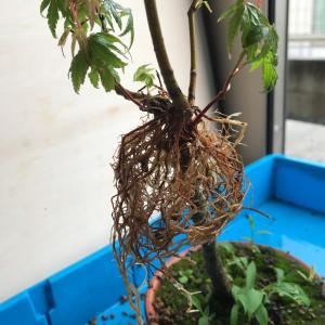 モミジの取り木。根がすごい