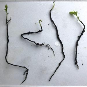 老爺柿発芽、でこまでが根?