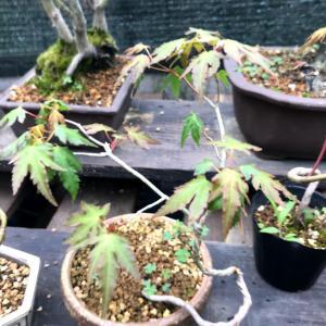 モミジ盆栽、全葉刈りのその後
