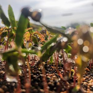 盆栽の赤ちゃん、モミジの発芽