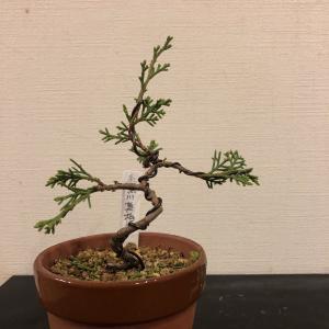 真柏の揷し木苗、好きな樹形を真似てみました。