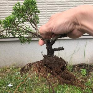 地植えしていた糸魚川真柏を鉢に戻す