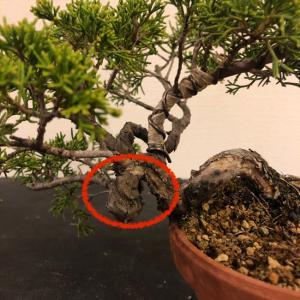 真柏苗、捻転部分を取り木です。