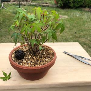 寄せ植えモミジ苗の葉すかし