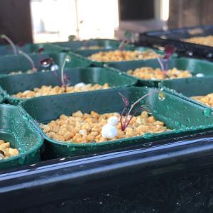 雪割草、カイワレ苗の植え替え