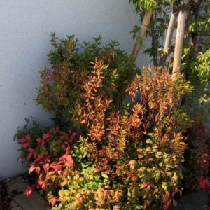 門柱まわりの植栽に生じた異変