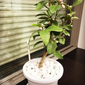 ダウンフロアで成長中の鉢植えレモン