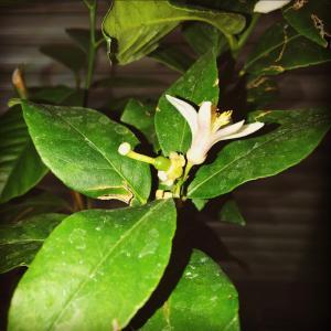レモンの摘花