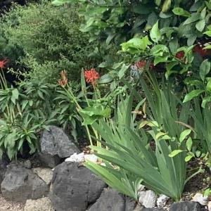 彼岸花は9月17日に咲いてるのを確認しました