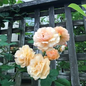 【ミニ英語日記②】庭で大切にしているバラたちが咲きだした。