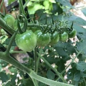 【ミニ英語日記④】最大の関心ごとは植えたトマト