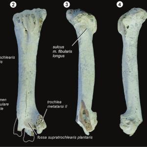 Cayaoa bruneti 捕食痕跡化石の新標本